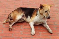 Asain dog Royalty Free Stock Photo