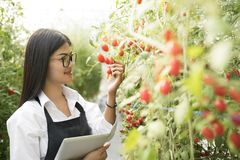 Asain gardender investigate quality tomato. In garden royalty free stock image