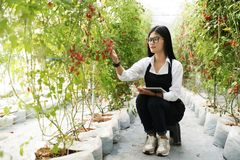 Asain gardender investigate quality tomato. In garden royalty free stock photo