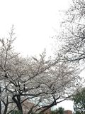 Asakusa, Japon - 29 mars 2015 : Beaucoup de personnes dans le jardin de Sakura Photos stock