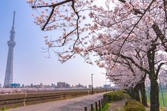 Tokyo Skytree Tower with cherry blossoms in full bloom at Sumida Park. Asakusa Sumida Park cherry blossom festival. In springtime, Sumida River is surrounded by stock photos