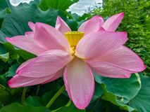 Blossom lotus flower in Japanese pond; focus on flower. Asakusa, Tokyo, JAPAN - Aug. 06 2017: blossom lotus flower in Japanese pond; focus on flower Royalty Free Stock Photography