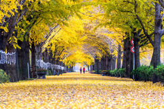 ASAN,KOREA - NOVEMBER 9: Row of yellow ginkgo trees and Tourists. Royalty Free Stock Photography