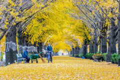ASAN,KOREA - NOVEMBER 9: Row of yellow ginkgo trees and Tourists. stock photos
