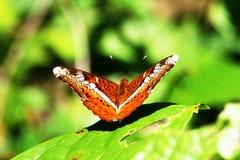 Asas comuns da borboleta do comandante na terra castanho-avermelhado fotografia de stock royalty free