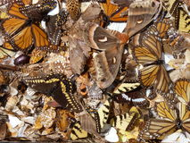 Asas da borboleta Foto de Stock Royalty Free