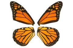 Asas da borboleta de monarca Fotos de Stock