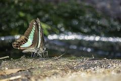 Asas da borboleta pretas com as listras verdes na cachoeira obscura do fundo das pedras imagem de stock royalty free