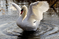 Asas da cisne a voar Fotos de Stock