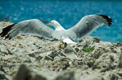 Asas da gaivota Foto de Stock Royalty Free
