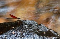 Asas da libélula na pedra Fotos de Stock Royalty Free