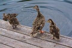 Asas de Duck Family Mother Duckling Flapping fotografia de stock