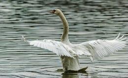 Asas de espalhamento da cisne no rio Imagem de Stock