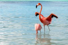 Asas de espalhamento masculinas do flamingo atrás da fêmea confiante Fotografia de Stock