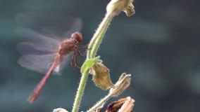 Asas do flapping da libélula video estoque