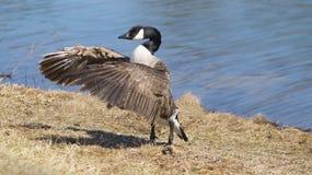 Asas do flapping do ganso pelo lago Imagem de Stock