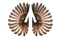 Asas do pássaro isoladas no branco fotografia de stock