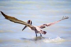 Asas do pelicano de Brown espalhadas no oceano Imagens de Stock Royalty Free