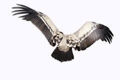 Asas isoladas do abutre Fotografia de Stock