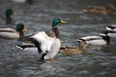Asas masculinas do flapping do pato selvagem Fotografia de Stock