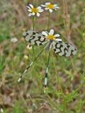 Asas preto e branco do whit da borboleta na grama Fotos de Stock Royalty Free