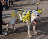 Asbury-Park, New-Jersey - 7. Oktober 2017: Dieser nette Hund kam zum 10. jährlichen Asbury-Park-Zombie-Weg, der als Schmetterling lizenzfreie stockfotos