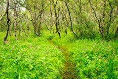 Asbyrgi Islandia del bosque Foto de archivo libre de regalías