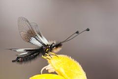 ascalaphus Стоковые Изображения
