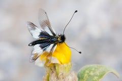 ascalaphus Стоковые Фотографии RF