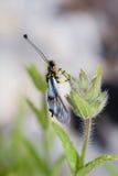 ascalaphus Стоковые Изображения RF