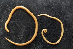 Ascariasis is a disease caused by the parasitic roundworm Ascaris lumbricoides for education. Ascariasis is a disease caused by the parasitic roundworm Ascaris stock photos