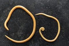 Ascariasis jest chorobą powodować pasożytniczymi roundworm Ascaris lumbricoides dla edukacji zdjęcia stock