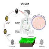 Ascaris κύκλος ζωής διανυσματική απεικόνιση