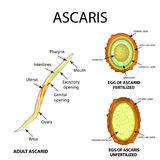 Ascaris структура взрослого Удобренное и unfertilized яичко Структура ascarids яичка Комплект Инфографика вектор иллюстрация вектора