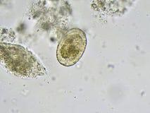 Ascaris lumbricoides Stock Images