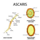 Ascaris struktura dorosły Nawożący i unfertilized jajko Struktura jajeczne askarydy Set Infographics wektor ilustracja wektor