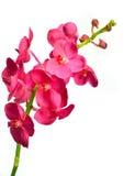 Ascda.Saint Valentine. Orchid on  background Stock Photos