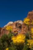 Ascendente cercano amarillo de la flor y de la abeja Imagen de archivo libre de regalías