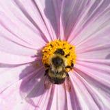 Ascendente cercano de la abeja Imagen de archivo libre de regalías