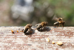 Ascendente cercano de la abeja Foto de archivo