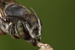 Ascendente cercano de la abeja el dormir Imágenes de archivo libres de regalías