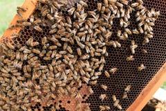 Ascendente cercano de la abeja reina Foto de archivo