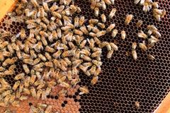 Ascendente cercano de la abeja reina Fotos de archivo libres de regalías