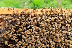 Ascendente cercano de la abeja reina Fotografía de archivo