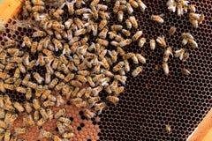 Ascendente cercano de la abeja reina Foto de archivo libre de regalías
