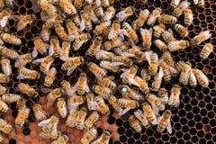Ascendente cercano de la abeja reina Imagen de archivo libre de regalías