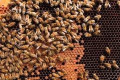 Ascendente cercano de la abeja reina Imagenes de archivo
