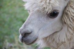 Ascendente cercano de la alpaca Fotografía de archivo libre de regalías