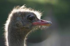 Ascendente cercano de la avestruz imagen de archivo