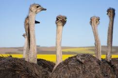 Ascendente cercano de la avestruz, Suráfrica Fotografía de archivo